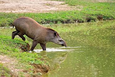Brazilian Tapir or Lowland Tapir entering in the water, Tapirus terrestris, Pantanal, Mato Grosso, Brazil