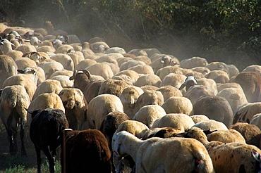Flock of lambs walking together Sheep, Ovis arie, quadruped, ruminant, mammals Solsones, Lleida, Catalunya, Spain, Europe