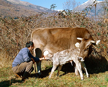 Cow with new born calf, Huesca province, Benasque Valley, Pyrenees Mountains, Spain