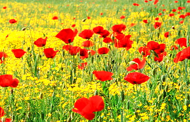 Poppies (Papaver rhoeas) in Tagus river valley, Toledo province, Spain
