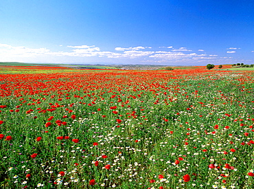 Wildflowers in Tagus river valley near Noblejas, Toledo province, Spain