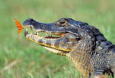 Yacare Caiman (Caiman crocodylus yacare) and Flambeau butterfly (Dryas julia), Pantanal, Brazil - 817-242763