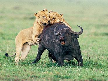 Lions (Panthera leo) attacking buffalo, Masai Mara, Kenya