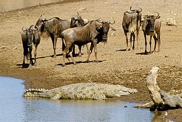 Blue Wildebeests (Connochaetes taurinus) and crocodile, Masai Mara Natural Reserve, Kenya