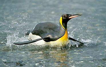 King penguin (Aptenodytes patagonicus), King penguins, Salisbury Plain, South Georgia, Antarctic region