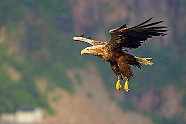 White-tailed Sea Eagle (Haliaeetus albicilla) flying, Norway