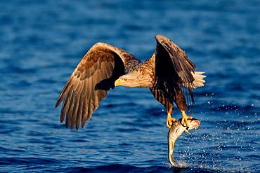White-tailed Sea Eagle (Haliaeetus albicilla) catching fish, Norway