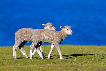 Falkland Islands, Pebble island, Domestic Sheep.