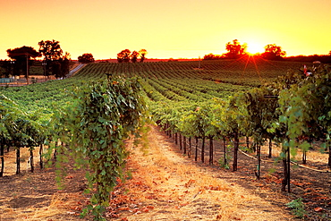 Sunset over vineyards near Plymouth, Shenandoah Valley, Amador County, California