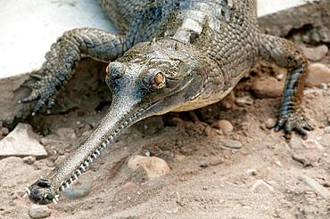 Gharial Gavialis gangeticus crocodile in Chitwan National Park, Nepal