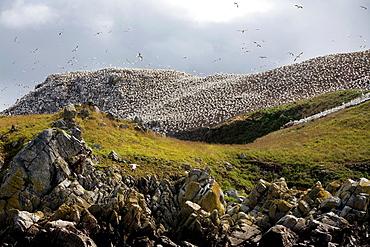Colony of gannet Morus bassanus in Sept-Iles, a Bird Sanctuary located in La Côte de Granit Rose, Perros-Guirec Côtes-dArmor department, Brittany region France