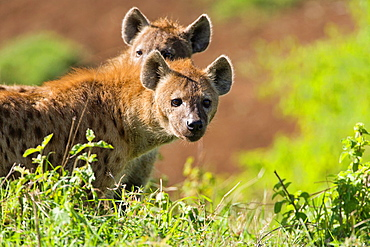 Two spotted hyenas (Crocuta crocuta) looking for food in the Ngorongoro Crater, Tanzania, Africa