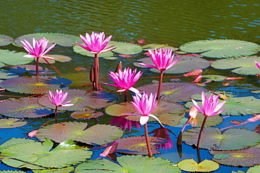 Southeast Asia, Cambodia, Siem Reap Province, Angkor site, lotus flower