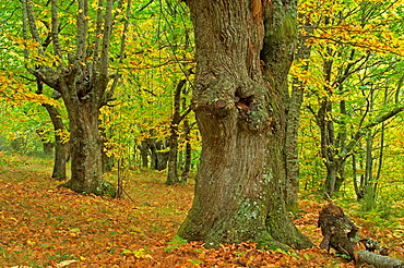 Autumnal sweet chestnut forest O Courel, Lugo, Galicia, Spain