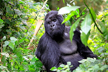Mountain Gorilla Gorilla beringei beringei, Parc National de Volcans, Rwanda