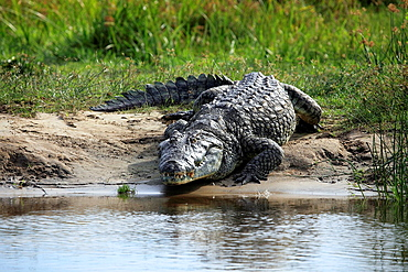 Crocodile crocodylus niloticus, Murchison Falls national park, Uganda, East Africa