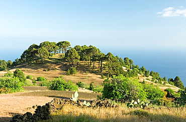 El Hierro, Canary Islands, Spain Stands of Canary Pine trees west of El Pinar Prickly pear in foreground
