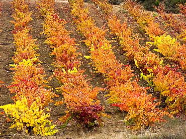 Vinedos en otono en Elciego, Rioja Alavesa, Euskadi, Espana