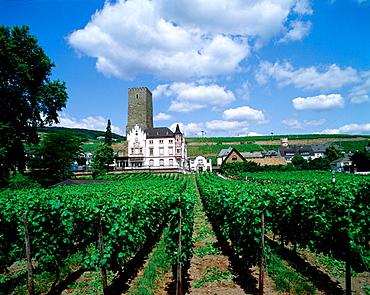 Vineyard, Rudesheim, Germany