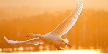 swan fly