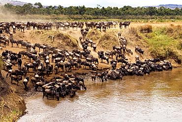 Wildebeest at waterhole, Masai Mara National Reserve, Kenya