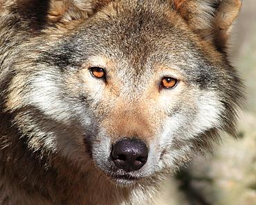 Wolf Halsingland Sweden.