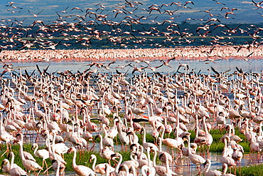 Flamingos, Lake Nakuru National Park, Nakuru, Kenya