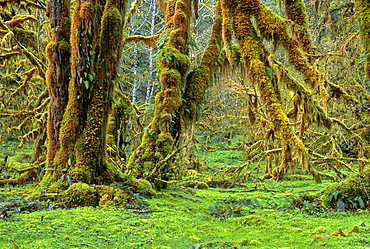 Bigleaf Maple Acer macrophyllum with epiphytic moss to in spring, Quinault Rain Forest, Olympic National Park, Washington, USA