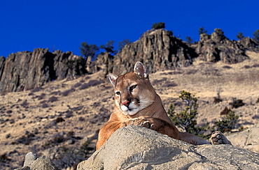 COUGAR puma concolor, ADULT STANDING ON ROCK, LOOKING AROUND, MONTANA