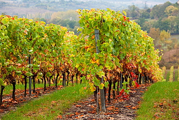 France, Midi-Pyrenees Region, Tarn Department, Ste-Croix, vineyards in autumn