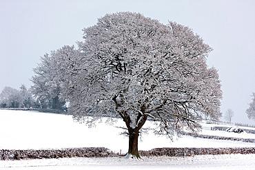 Winter scene, Snow on mature oak Quercus, Hereforeshire, UK, December 2010.