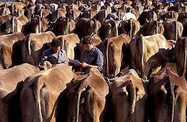 animal, animals, Appenzell, livestock, brown livestock, cattle, cows, farmer, folklore, livestock show, market, no m. animal, animals, Appenzell, livestock, brown livestock, cattle, cows, farmer, folklore, livestock show, market, no m