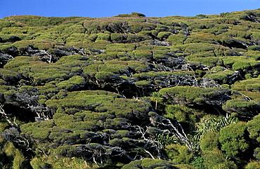near Farewell Spit, South Island, Wharariki Beach, Forest, New Zealand, trees, landscape. near Farewell Spit, South Island, Wharariki Beach, Forest, New Zealand, trees, landscape