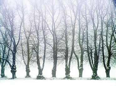 Alley, trees, landscape, fog, row, snow, Sweden, Europe, Uppland, Winter. Alley, trees, landscape, fog, row, snow, Sweden, Europe, Uppland, Winter