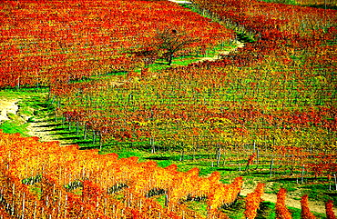 wine, vineyard, cultivation, outhouse, agriculture, series, picture series, seasons, autumn, scenery, landscape, Italy. wine, vineyard, cultivation, outhouse, agriculture, series, picture series, seasons, autumn, scenery, landscape, Italy
