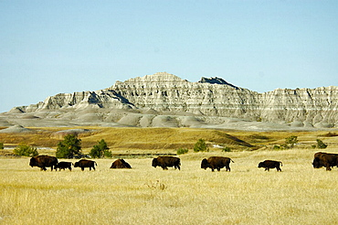 American bison, bison bison, herd, scenery, landscape, prairie, plains, Sage Creek Wilderness, Badlands, national park. American bison, bison bison, herd, scenery, landscape, prairie, plains, Sage Creek Wilderness, Badlands, national park