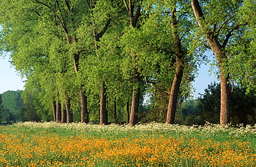 flowers, yellow, white, landscape, color, daytime, sunshine, outside, blue, sky, farmland, summer, tree, countryside, . flowers, yellow, white, landscape, color, daytime, sunshine, outside, blue, sky, farmland, summer, tree, countryside,