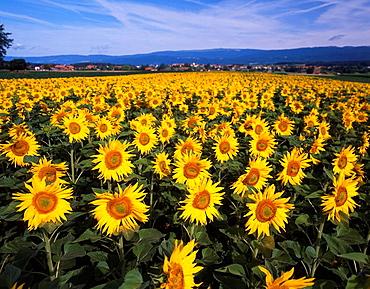 Switzerland, Europe, Tauffelen, Canton Berne, Sunflowers, Sunflower, Field, Fields, Landscape, Agriculture. Switzerland, Europe, Tauffelen, Canton Berne, Sunflowers, Sunflower, Field, Fields, Landscape, Agriculture