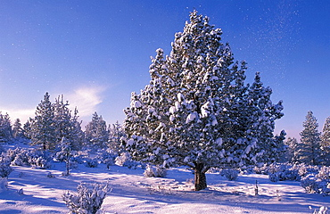 USA, America, United States, North America, Oregon, Rancho Las Hierbas, Bend, Juniper tree, winter, snow, snowbound, l. USA, America, United States, North America, Oregon, Rancho Las Hierbas, Bend, Juniper tree, winter, snow, snowbound, l