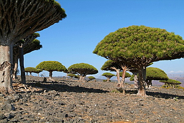 Yemen, Socotra island, Dicksam, Dragon Blood Tree, trees, Dracaena cinnabari, Arabic, Arabian, Arab, travel, UNESCO, w. Yemen, Socotra island, Dicksam, Dragon Blood Tree, trees, Dracaena cinnabari, Arabic, Arabian, Arab, travel, UNESCO, w