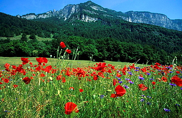 Switzerland, Europe, Canton Grisons, Graubunden, Grisons, at Domat_Ems, meadow, poppies, cornflowers, flowers, colorfu. Switzerland, Europe, Canton Grisons, Graubunden, Grisons, at Domat_Ems, meadow, poppies, cornflowers, flowers, colorfu