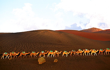 Lanzarote, Canaries, Canary islands, island, Spain, Europe, outside, daytime, camel, camels, animal, animals, Timanfay. Lanzarote, Canaries, Canary islands, island, Spain, Europe, outside, daytime, camel, camels, animal, animals, Timanfay