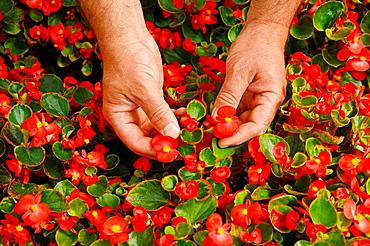 Picking edible flowers for restaurants, Balaguer, Lleida, Catalonia, Spain