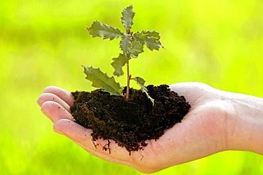 Planting a holm oak (quercus ilex)