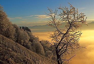 Berneck, Switzerland, Canton of St. Gallen, Rhine Valley, tree, hoarfrost, frost, vineyard, fog, morning light, wood, forest, winter, Landscape, scenery, nature, foggy, misty, dawn, twilight, scenic, slope, mountain. Berneck, Switzerland, Canton of St. Gallen, Rhine Valley, tree, hoarfrost, frost, vineyard, fog, morning light, wood, forest, winter, Landscape, scenery, nature, foggy, misty, dawn, twilight, scenic, slope, mountain