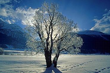 La Punt, Switzerland, Canton of Grisons, Graubunden, Grisons, Engadin, pastures, willows, hoarfrost, frost, back light, sun, winter, snow, tracks, traces, mountains, Landscape, scenery, nature, lone tree, alps, alpine. La Punt, Switzerland, Canton of Grisons, Graubunden, Grisons, Engadin, pastures, willows, hoarfrost, frost, back light, sun, winter, snow, tracks, traces, mountains, Landscape, scenery, nature, lone tree, alps, alpine