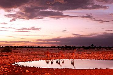 giraffe, animal, Camelopardus, Okaukuejo water hole, Etosha, National Park, Kunene Region, Namibia, Africa, Travel, Nature. giraffe, animal, Camelopardus, Okaukuejo water hole, Etosha, National Park, Kunene Region, Namibia, Africa, Travel, Nature
