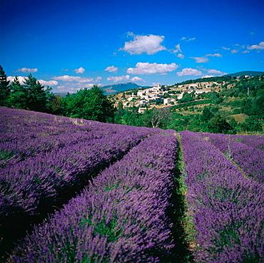 Lavender fields, Aurel village in background, Provence, France