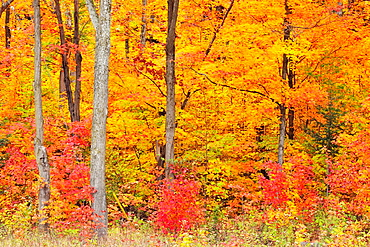 Mature maple trees and saplings at the edge of a forest near a highway Algonquin Provincial Park, Ontario
