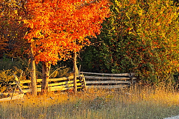 Split-rail fence and maple trees Manitoulin Island Ontario
